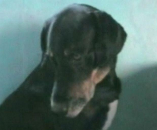 ΣΥΓΚΛΟΝΙΣΤΙΚΟ VIDEO: Τοκετός γάτας με βοήθεια σκύλου