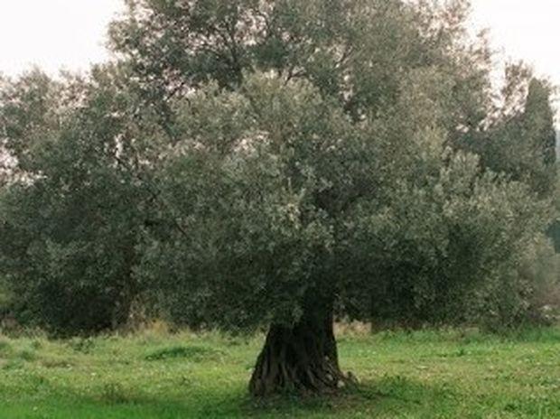 Ξάνθη: Έκοψαν το δέντρο κι έπαθαν ΣΟΚ με αυτό που βρήκαν στον κορμό του