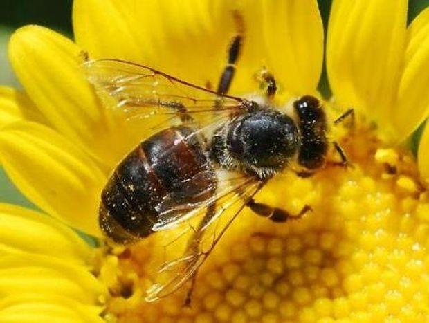 Γιατί οι μέλισσες πεθαίνουν αφού μας τσιμπήσουν;