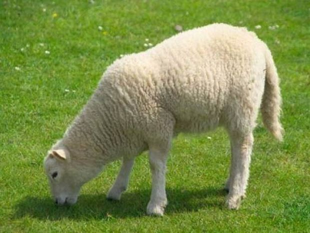 Απίστευτο: Έχει ξοδέψει 200.000 δολάρια...για ένα πρόβατο