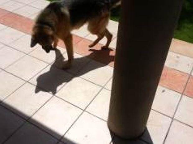 ΞΕΚΑΡΔΙΣΤΙΚΟ VIDEO: Σκύλος κυνηγάει τη σκιά του!