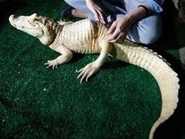 ΣΟΚ! Δεν θα πιστέυετε τι κάνουν σε αλιγάτορα