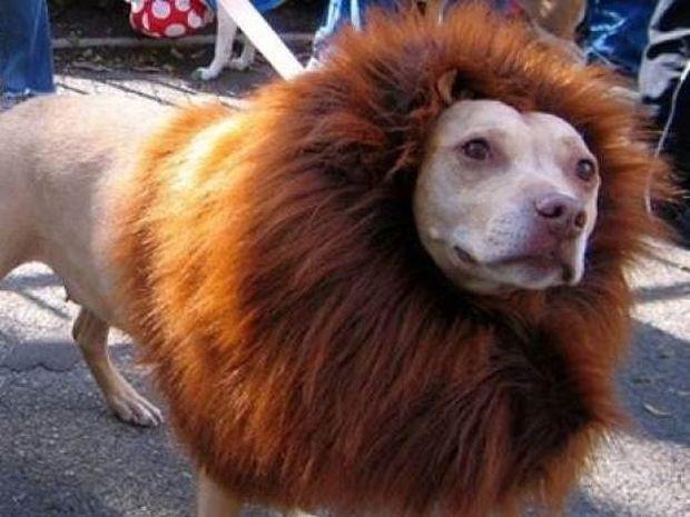 Ζωολογικός κήπος μεταμόρφωσε έναν σκύλο σε... λιοντάρι!