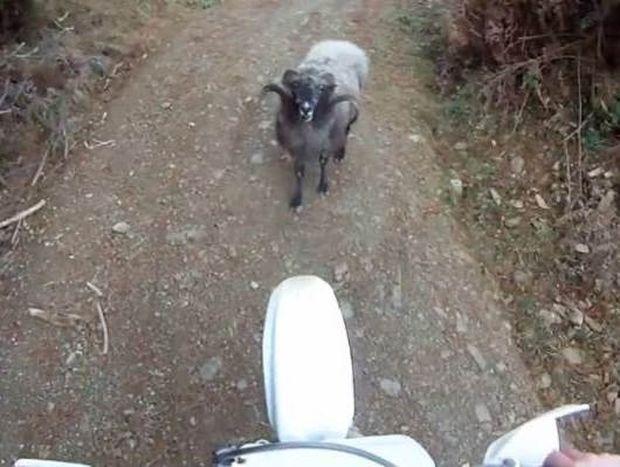 Ξεκαρδιστικό βίντεο: Μοτοσικλετιστής εναντίον... προβάτου!