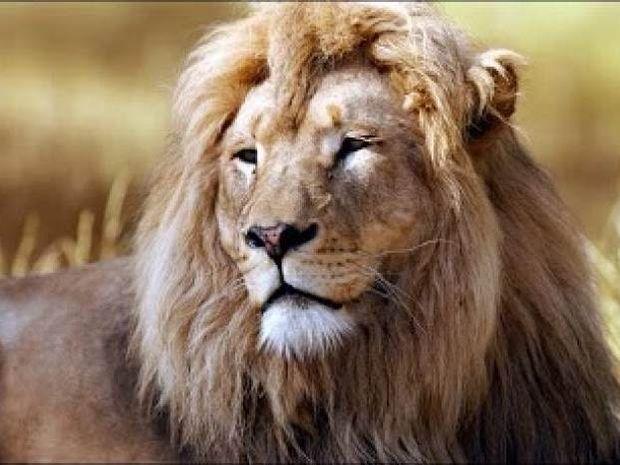 Τη δάγκωσε λιοντάρι και της έσωσε τη ζωή!