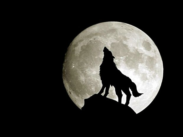 Πως εξηγούν οι ερευνητές το ουρλιαχτό των λύκων;