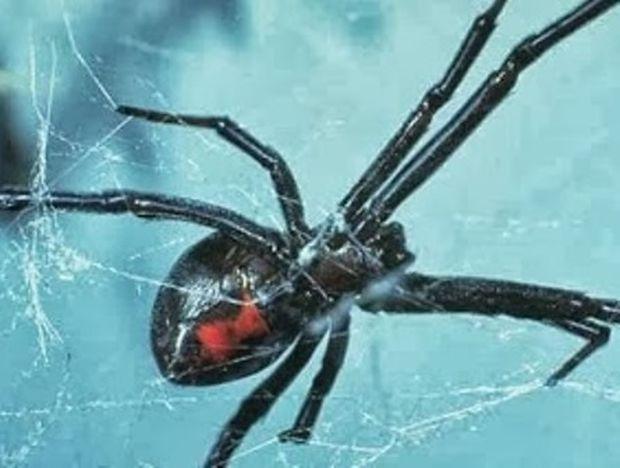 ΠΑΝΙΚΟΣ στο Λονδίνο από δηλητηριώδη αράχνη!