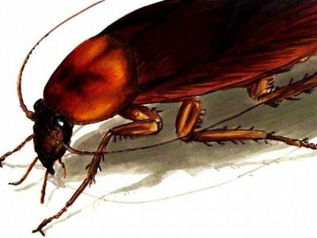 Δείτε με ποιόν φυσικό τρόπο μπορείτε να εξαφανίσετε τις κατσαρίδες