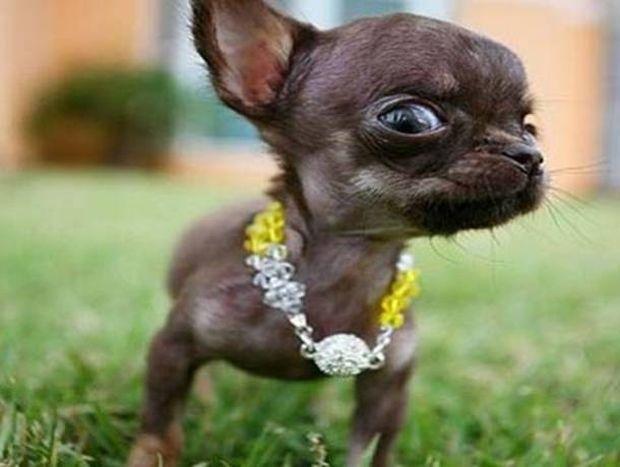 Aυτός είναι ο μικρότερος σκύλος στον κόσμο (pics)