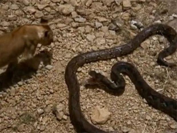 ΑΠΙΣΤΕΥΤΟ ΒΙΝΤΕΟ: Τεράστιο φίδι επιτίθεται σε λιοντάρι!