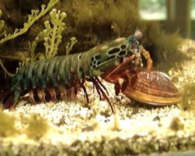 Γαρίδα Mantis: Μία εξελιγμένη θανατηφόρα μηχανή της φύσης (βίντεο)