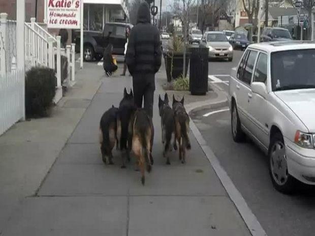 ΑΠΙΣΤΕΥΤΟ: Βγάζει βόλτα 5 γερμανικούς ποιμενικούς χωρίς λουρί! (βίντεο)