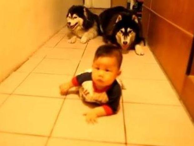 Ξεκαρδιστικό βίντεο: Δύο σκύλοι μιμούνται ένα μωρό που μπουσουλάει