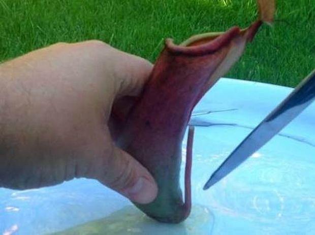 Δεν φαντάζεστε τι βρήκαν στο στομάχι ενός σαρκοφάγου φυτού (video)