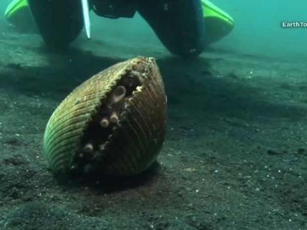 Για τα ψάρια μπορεί να μοιάζει με ένα συνηθισμένο κέλυφος! Αν πλησιάσουν όμως…(Video)