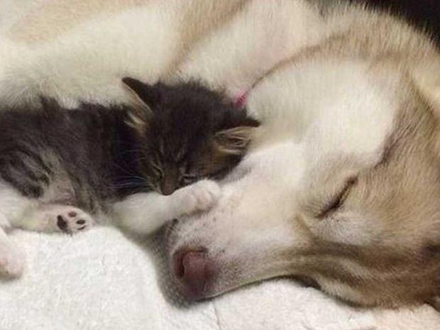 Όταν το μητρικό ένστικτο δεν κάνει διακρίσεις! Πως ένα χάσκι έσωσε αυτό το μικρό γατάκι!