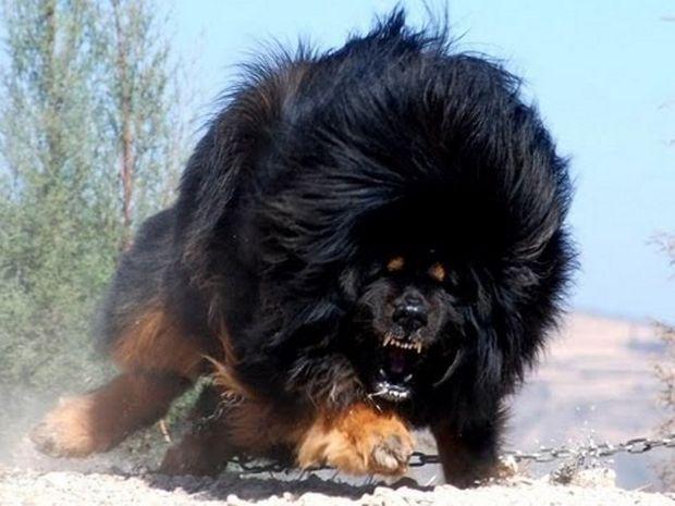 Αυτοί είναι οι μεγαλύτεροι σκύλοι-φύλακες που ζουν στον πλανήτη μας! (βίντεο)