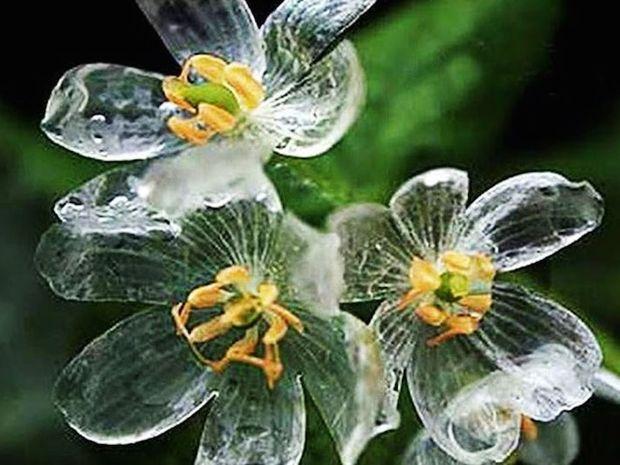 Η μαγεία της φύσης! Τα λουλούδια που γίνονται διάφανα όταν βρέχει!