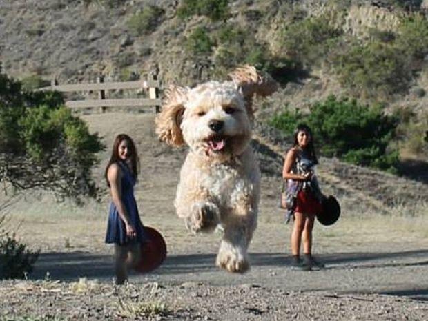 Σκύλοι γίγαντες! Δείτε τις εντυπωσιακές φωτογραφίες που δεν είναι προϊόν φωτομοντάζ!