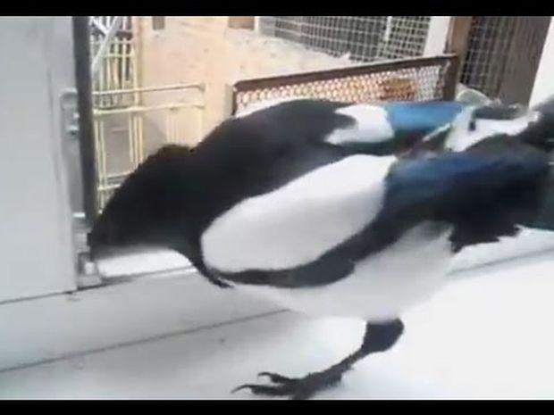 Είναι δυνατόν ένα πουλί να γελάει; Κι όμως... Δείτε το βίντεο