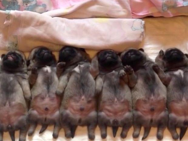 Νεογέννητα κουταβάκια κοιμούνται και τρελαίνουν το διαδίκτυο! Το πρώτο αριστερά είναι απίθανο!