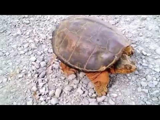 Τα πάντα έχουν όρια! Η χελώνα του έδωσε ένα μάθημα που θα θυμάται σε όλη του τη ζωή! (video)