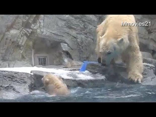 Η αγάπη της μάνας είναι μοναδική! Δείτε τι κάνει αυτή η γλυκιά αρκούδα για να σώσει το μικρό της! (video)