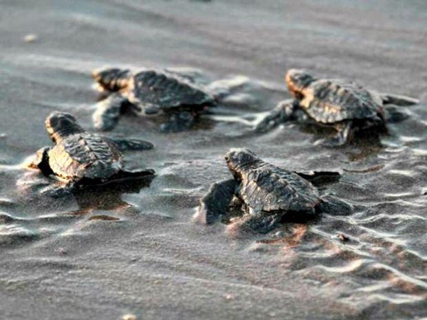 Δείτε τα μικρά χελωνάκια Καρέτα - Καρέτα στα πρώτα τους βήματα που θα σας κάνουν να χαμογελάσετε! (video)