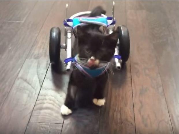 Αυτή η γατούλα δεν το έβαλε κάτω! Δείτε τα πρώτα της βήματα στο αναπηρικό καροτσάκι! (video)