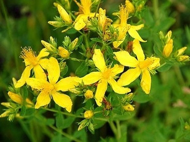 To βότανο του Αγίου Ιωάννη: Φάρμακο για την κατάθλιψη;