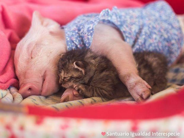 Απίστευτο! Tο γουρουνάκι και η γατούλα έγιναν αχώριστοι φίλοι από τη στιγμή που γνωρίστηκαν! (photos+video)