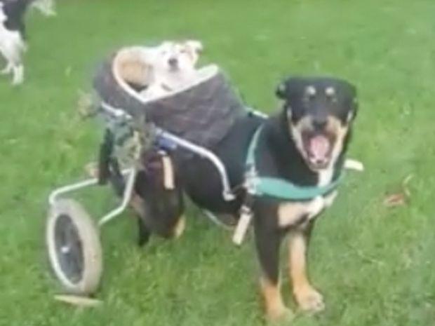 Συγκινητικό! Αυτό το σκυλάκι βγάζει βόλτα την τυφλή και κωφή φίλη του! (video)