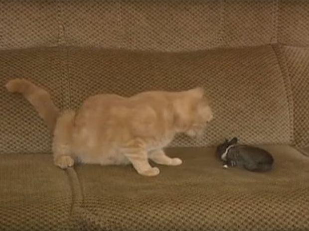 Απίστευτο! Η γατούλα ταΐζει και φροντίζει το ορφανό κουνελάκι σαν δικό της παιδί! (video)