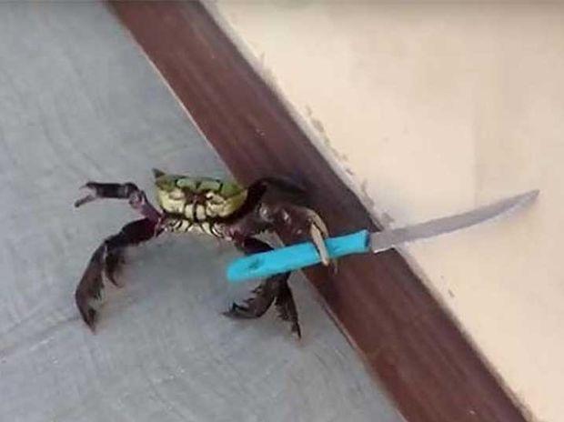 Απίστευτο! Το θαρραλέο καβούρι επιτίθεται με μαχαίρι στον μάγειρα! (video)
