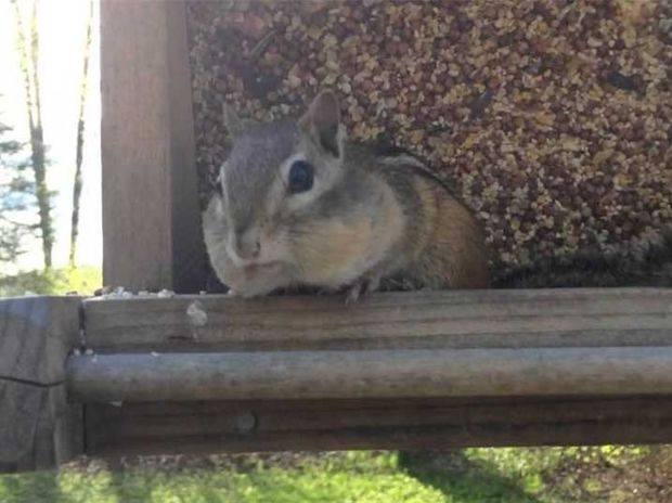 Η ξεκαρδιστική αντίδραση του «κλέφτη» σκίουρου που… πιάστηκε στα πράσα! (video)