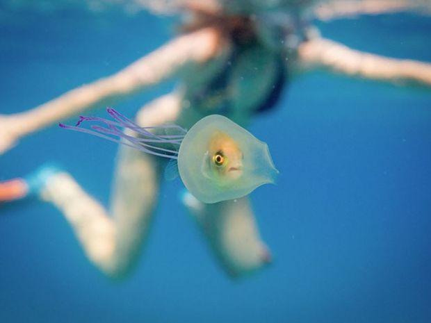 Απίστευτο! Ένα ψάρι εγκλωβίστηκε ζωντανό μέσα σε μέδουσα! (photos)