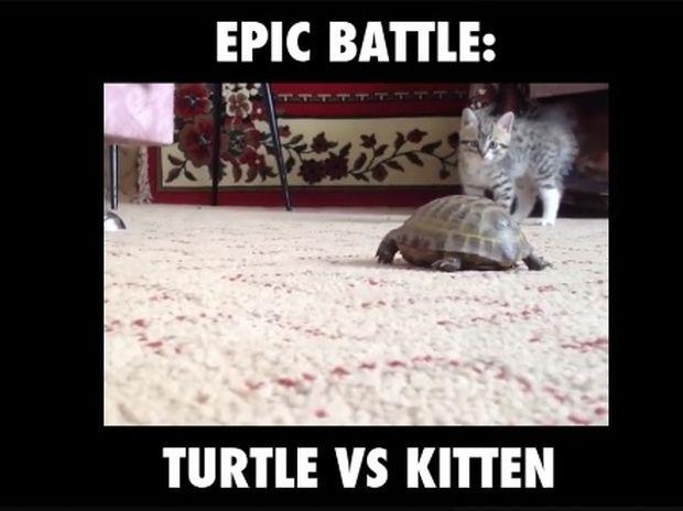 Επική μάχη: Γατάκι εναντίον χελώνας (video)