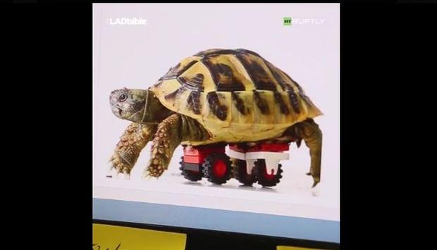 Η χελώνα μπορεί να περπατήσει ξανά χάρη στη βοήθεια ποδιών από LEGO! (video)