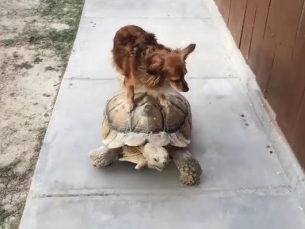Ξεκαρδιστικό! Ο σκυλάκος βρήκε το ιδιωτικό του μέσο μεταφοράς! (video)
