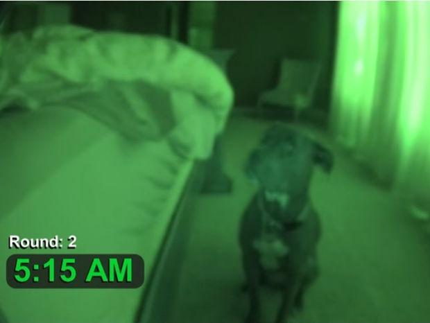 Με αυτό το ξυπνητήρι - pitbull θα είστε πάντα στην ώρα σας! (video)