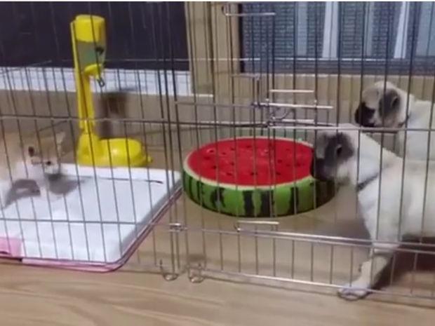 Ξεκαρδιστικό! Το γατάκι τρομάζει τα κουτάβια και τρέχουν να κρυφτούν! (video)
